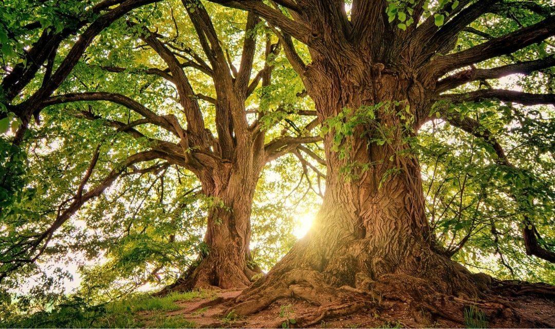 Het verhaal van de drie bomen in rouw